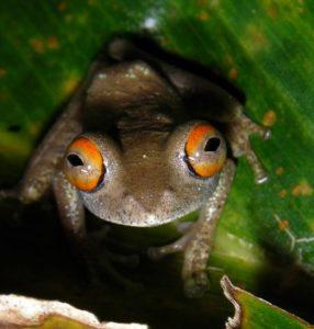 Ein rotäugiger Baumfrosch aus dem Ranomafana-Nationalpark in Südostmadagaskar. Bei dieser Art mit dem wissenschaftlichen Namen Boophis quasiboehmei wurden Infektionen mit dem Chytrid-Pilz festgestellt