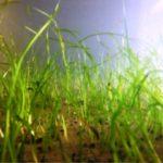 Unterwasseraufnahme vom kleinen Seegras (Zostera noltii) im Labor. (Foto: Maike Paul)