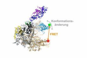 Dreidimensionale Architektur einer RNA Polymerase. Die flexible Einheit der RNA-Polymerase, die verschiedene Konformationen annehmen kann, ist in blau hervorgehoben. Die Position der Fluoreszenzfarbstoffe, über die der mit einem orangen Pfeil angezeigte Abstand in der RNA-Polymerase und damit die Bewegung der flexiblen Einheit gemessen werden kann, ist mit einem grünen und roten Punkt gezeigt. (PCI/TU Braunschweig)