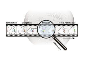 """Während ihres Aktivitätszyklus in der Zelle interagiert die RNA Polymerase sowohl mit DNA als auch mit verschiedenen Faktoren. Die damit einhergehenden unterschiedlichen Konformationszustände der RNA-Polymerase konnten über die FRET-Technik mit nanometergenauer Auflösung analysiert werden, sodass ein """"molekulares Daumenkino der RNA-Polymerase"""" erstellt werden konnte. (PCI/TU Braunschweig)"""