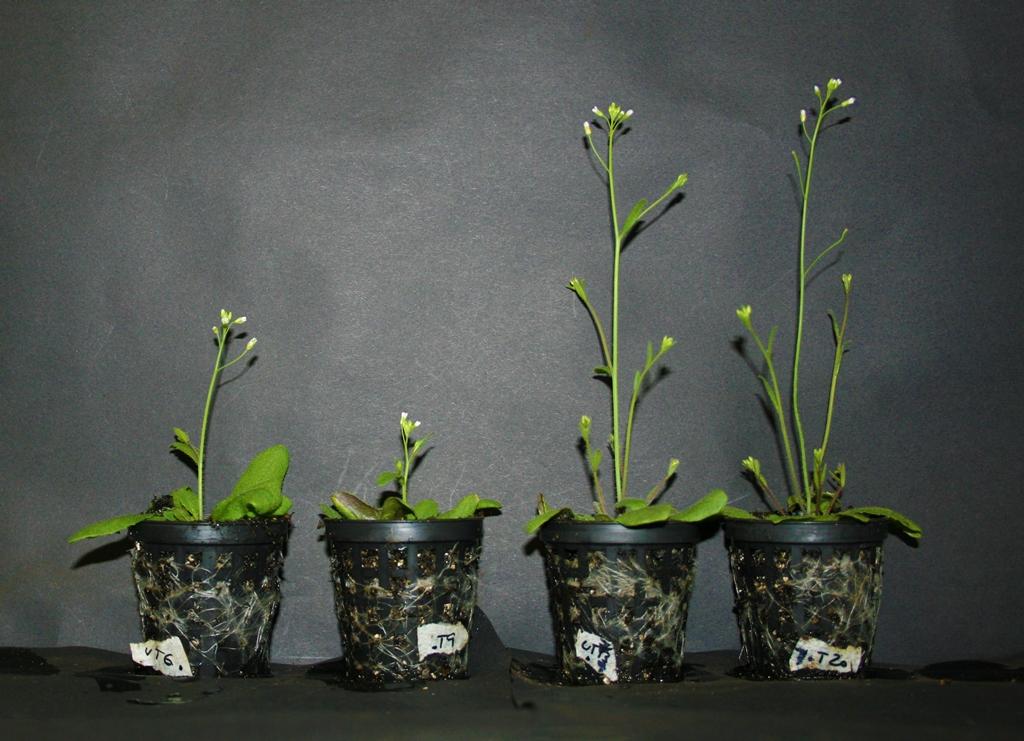 """Arabidopsis thaliana reagieren auf Berührung. Die Mutanten Pflanze hat das Gen """"AtGA2ox7"""" verloren und reagiert deshalb nicht mehr auf Berührung (Pflanzen von links nach rechts: Wildtyp, Wildtyp zweimal täglich berührt; Mutante, Mutante zweimal täglich berührt)."""