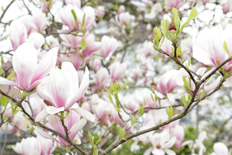 Nahaufnahme von Magnolienblüten