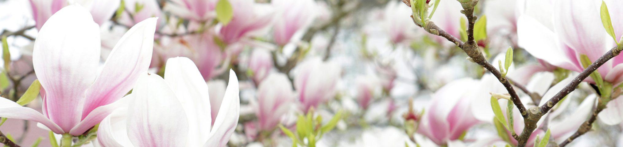 Blühende Magnolie im Botanischen Garten der TU Braunschweig. Bildnachweis: Kristina Rottig/TU Braunschweig