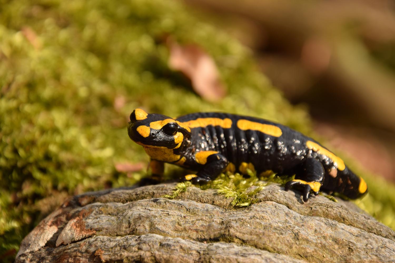 Der Feuersalamander ist von einem Amphibien-Hautpilz bedroht. Bildnachweis: Kathleen Preißler/Universität Leipzig
