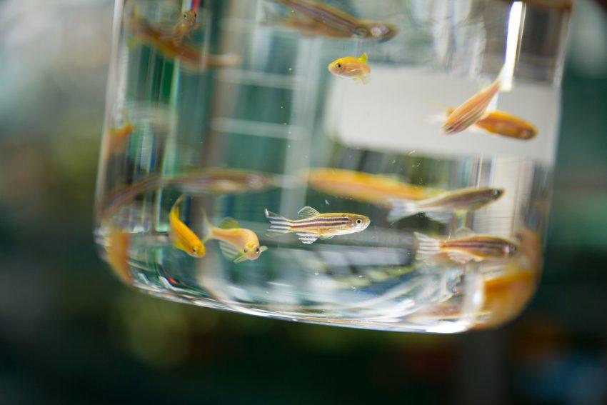 Etwa ein Dutzend Zebrafische schwimmen in einem Glasbehälter